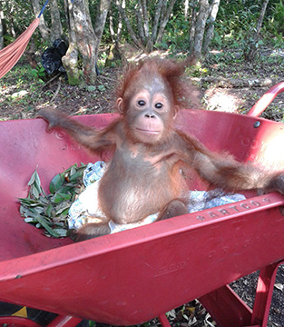 Baby Orangutan sitting in a wheelbarrow