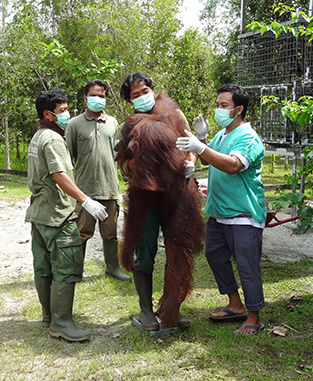 Weighing a sedated orangutan