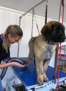Kim Chase grooming a dog