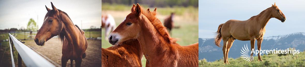 Course: Intermediate Apprenticeship in Horse Care